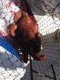 Pulpo2 chiki 5,1 kg 04-05-2013
